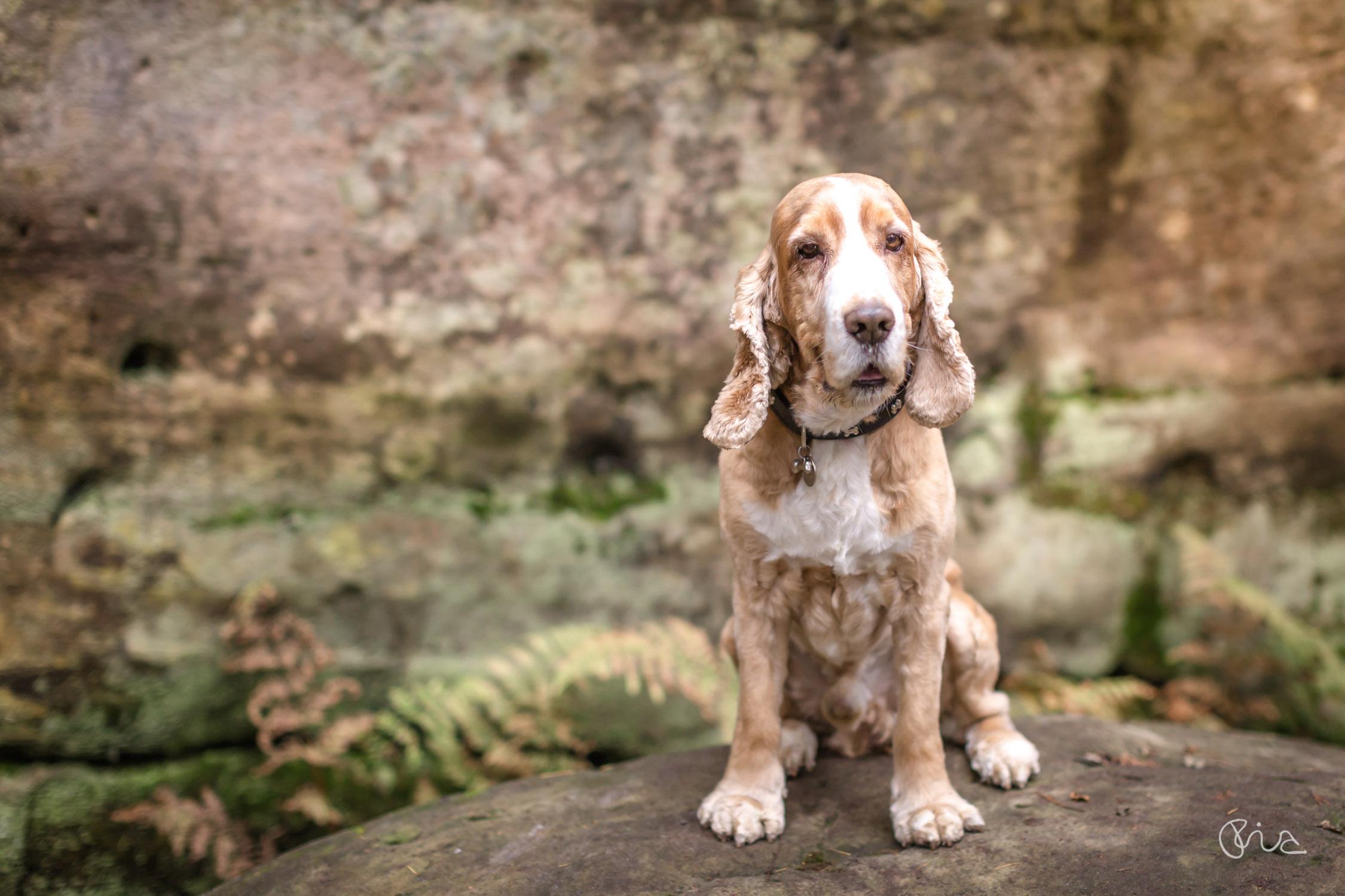 dog portrait of Barney at Eridge Rocks